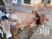 Cow For Any Show | Livestock & Poultry for sale in Northern Region, Tamale Municipal