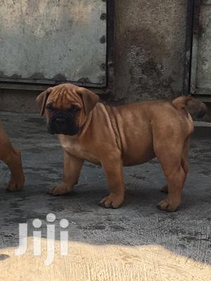 Young Male Mixed Breed Bullmastiff