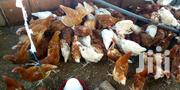 17 Weeks Layers | Livestock & Poultry for sale in Greater Accra, Kwashieman