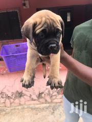 Baby Male Purebred Mastiff | Dogs & Puppies for sale in Greater Accra, Teshie-Nungua Estates