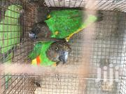 Senegal And Ringneck Parrots | Birds for sale in Greater Accra, Adabraka
