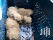 Baby Male Purebred Poodle | Dogs & Puppies for sale in Greater Accra, Ga West Municipal