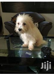 Baby Male Purebred Maltese | Dogs & Puppies for sale in Greater Accra, East Legon