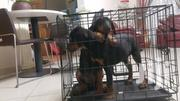 Baby Male Purebred Doberman Pinscher   Dogs & Puppies for sale in Greater Accra, Achimota