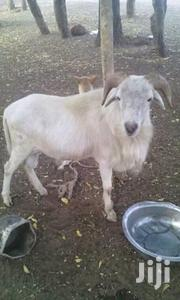 Sheep For Selling | Other Animals for sale in Northern Region, Tolon/Kumbungu