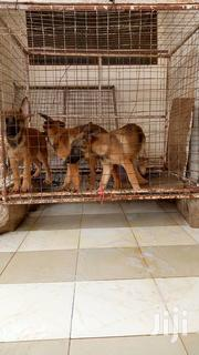 Baby Male Purebred Belgian Malinois | Dogs & Puppies for sale in Greater Accra, East Legon (Okponglo)