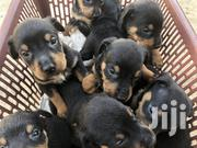 Baby Female Mixed Breed Rottweiler | Dogs & Puppies for sale in Greater Accra, Kwashieman