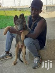 Baby Male Purebred German Shepherd Dog | Dogs & Puppies for sale in Greater Accra, East Legon (Okponglo)