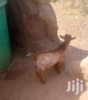 Goat For Selling | Livestock & Poultry for sale in Northern Region, Kpandai