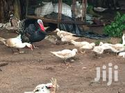 Muscovy Ducks And Turkey For Your Xmas | Livestock & Poultry for sale in Greater Accra, Ga West Municipal