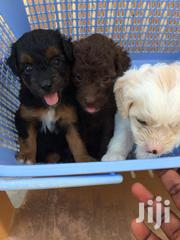 Young Female Purebred Poodle | Dogs & Puppies for sale in Greater Accra, Osu