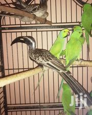 African Grey Hornbill | Birds for sale in Greater Accra, Dansoman