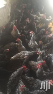 21weeks Old Plymouth Rock For Sale | Livestock & Poultry for sale in Ashanti, Kumasi Metropolitan