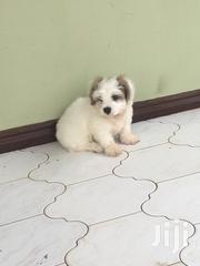 Baby Male Purebred Maltese | Dogs & Puppies for sale in Greater Accra, Tema Metropolitan