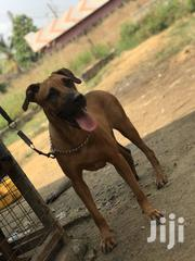 Senior Female Mixed Breed Boerboel | Dogs & Puppies for sale in Greater Accra, Ga South Municipal