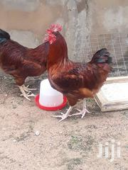Cockerels 🐓 (Live And Dressed) | Livestock & Poultry for sale in Greater Accra, Ga West Municipal