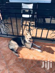 Adult Female Purebred German Shepherd Dog | Dogs & Puppies for sale in Greater Accra, Labadi-Aborm
