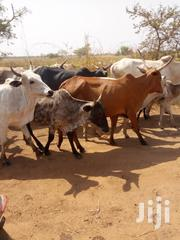 Cows For Sale | Livestock & Poultry for sale in Northern Region, Kpandai