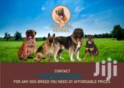 Young Male Purebred Boerboel | Dogs & Puppies for sale in Greater Accra, Ga West Municipal