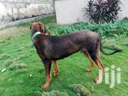 Adult Male Purebred Doberman Pinscher   Dogs & Puppies for sale in Greater Accra, Achimota