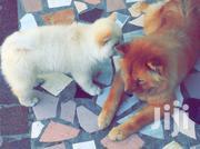 Adult Female Purebred Chow Chow | Dogs & Puppies for sale in Greater Accra, Tema Metropolitan