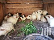 Guinea Pigs | Livestock & Poultry for sale in Ashanti, Obuasi Municipal