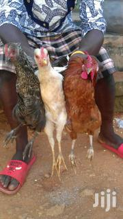 Hen's For Sell | Other Animals for sale in Northern Region, Zabzugu/Tatale