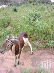 Sheep For Sale | Livestock & Poultry for sale in Northern Region, Yendi