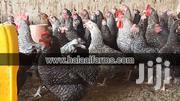PLYMOUTH ROCK DAY OLD CHICKS | Other Animals for sale in Central Region, Awutu-Senya