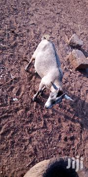 Goat For Sell | Livestock & Poultry for sale in Northern Region, Yendi