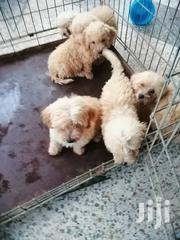 Baby Female Purebred Poodle | Dogs & Puppies for sale in Greater Accra, Ga South Municipal