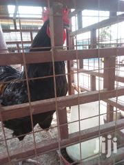 Expierence The Taste Of Real Israel Birds Brahma | Livestock & Poultry for sale in Greater Accra, Ga South Municipal