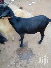 Goat For Selling | Livestock & Poultry for sale in Northern Region, Tolon/Kumbungu
