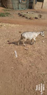 Goat For Sale | Other Animals for sale in Northern Region, Yendi