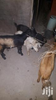 Volta Goats For Sell At Cool | Livestock & Poultry for sale in Greater Accra, East Legon (Okponglo)