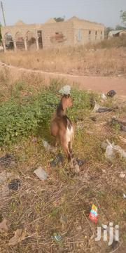 Goat For Sale | Other Animals for sale in Northern Region, Gushegu