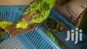 Jardin Parrot | Birds for sale in Ashanti, Kumasi Metropolitan
