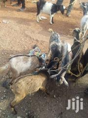 Goats For Sale | Livestock & Poultry for sale in Northern Region, Zabzugu/Tatale