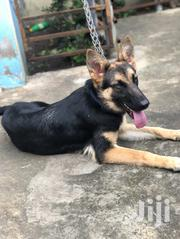 Senior Female Purebred German Shepherd Dog | Dogs & Puppies for sale in Greater Accra, Kwashieman