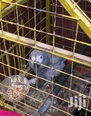 Talking African Grey Parrot | Birds for sale in Greater Accra, Dansoman
