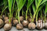 Coconut Seelings | Feeds, Supplements & Seeds for sale in Greater Accra, Cantonments