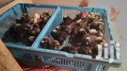 Day Old Plymouth Rock Cocks Forsale | Livestock & Poultry for sale in Ashanti, Kumasi Metropolitan