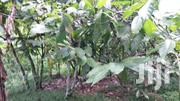 Cocoa Farm With Land For Sale Or Long Lease | Landscaping & Gardening Services for sale in Western Region, Sefwi-Wiawso