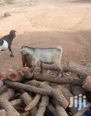 Goat For Selling | Livestock & Poultry for sale in Northern Region, Yendi