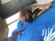 Baby Female Mixed Breed Boerboel | Dogs & Puppies for sale in Greater Accra, East Legon (Okponglo)