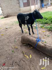 Cows | Livestock & Poultry for sale in Northern Region, Gushegu