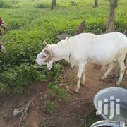 Sell And Buying | Livestock & Poultry for sale in Northern Region, Zabzugu/Tatale