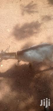 Goat | Livestock & Poultry for sale in Northern Region, Yendi
