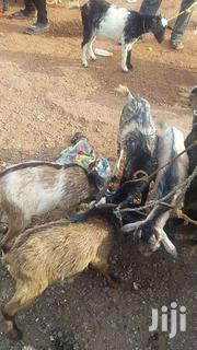 Goat | Livestock & Poultry for sale in Northern Region, Tolon/Kumbungu
