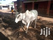 Cows For Sale | Livestock & Poultry for sale in Northern Region, Karaga